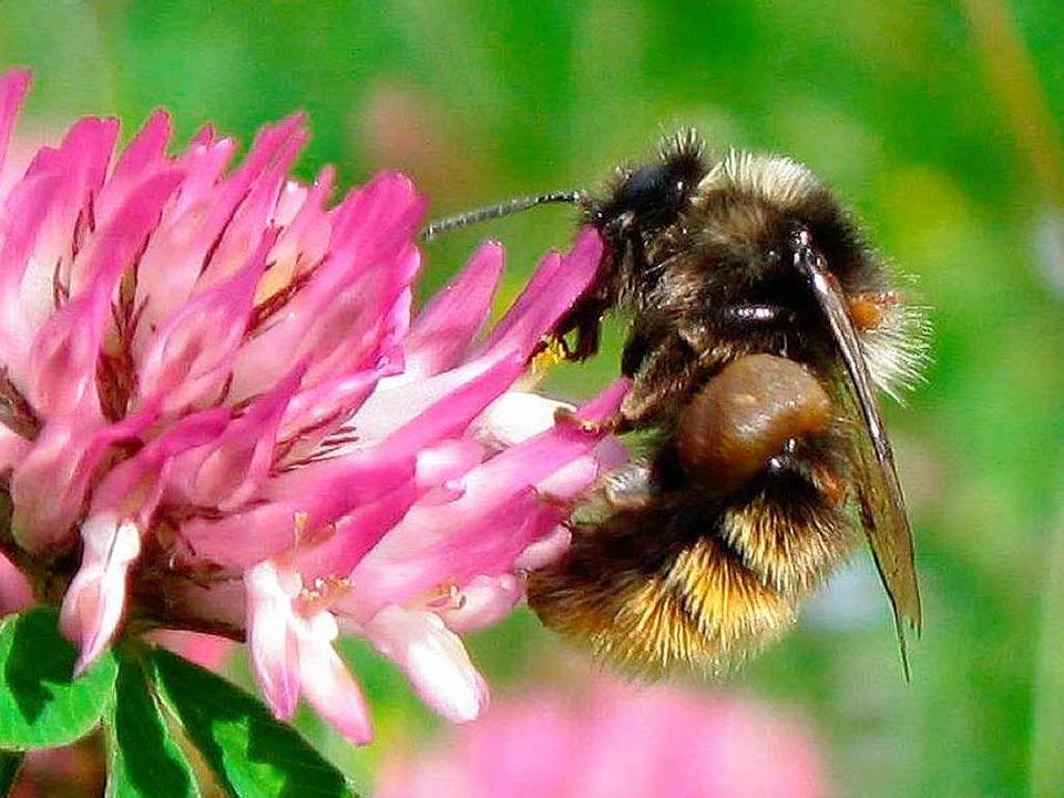 Wildbiene auf Nahrungssuche  | Foto: dpa