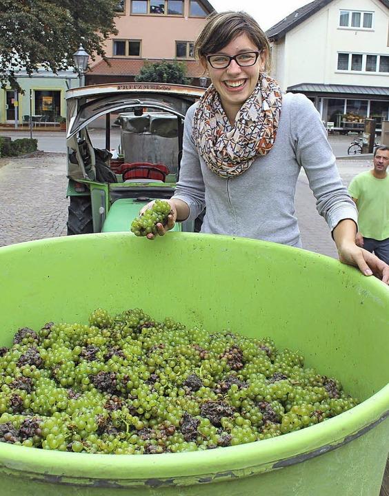 Beim Herbsten packen alle mit an, da m...e Winzergenossenschaft Bötzingen mit.     Foto: horst david