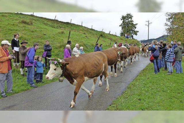 Kühe als Stars des Tages