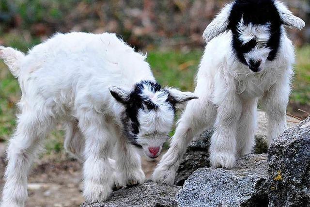 Unbekannte quälen sieben Ziegen am Gifizsee