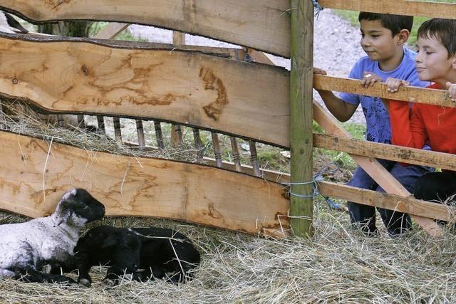 Ein neu geborenes Schaf war die Attraktion
