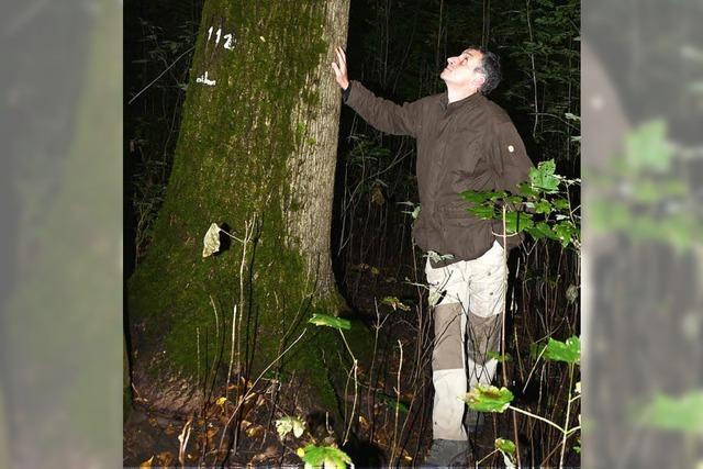 Prachtexemplare von Nussbäumen am Kaiserstuhl