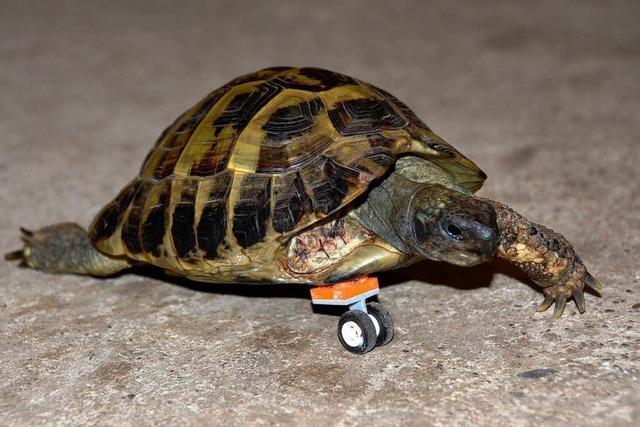 Beinamputierte Schildkröte rollt auf Lego-Prothese