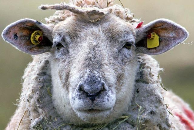 Schafe bleiben elektronisch überwacht