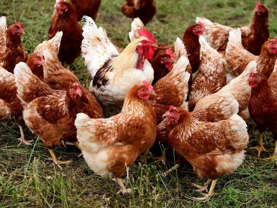 Gesund und munter: freilaufende Hühner auf dem Bauernhof.  | Foto: Christoph Breithaupt