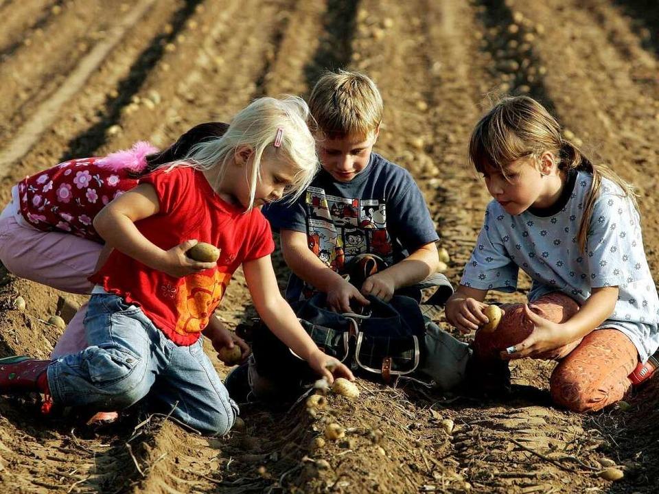 Pommes wachsen nicht auf Bäumen: Kinder bei der Kartoffelernte  | Foto: ddp