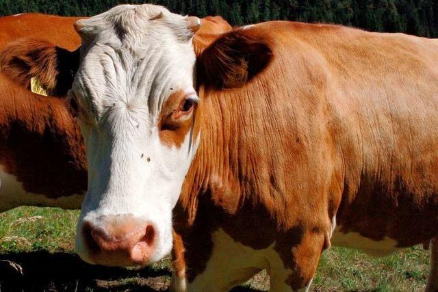 Fotos: Hinterwälder Rinder