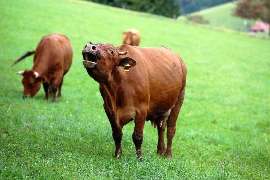 Rinder vom Kasperhof (Foto: Breithaupt)