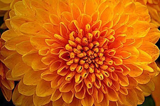 CHRYSAN-THEMA: Reichlich Blütenstaub