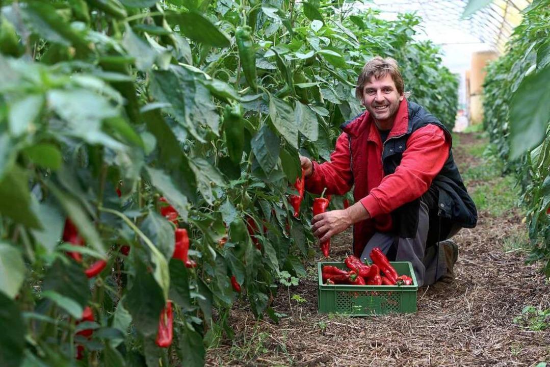 Johannes Witt erntet lange und süße Paprika  aus dem eigenen Anbau.  | Foto: Christoph Breithaupt