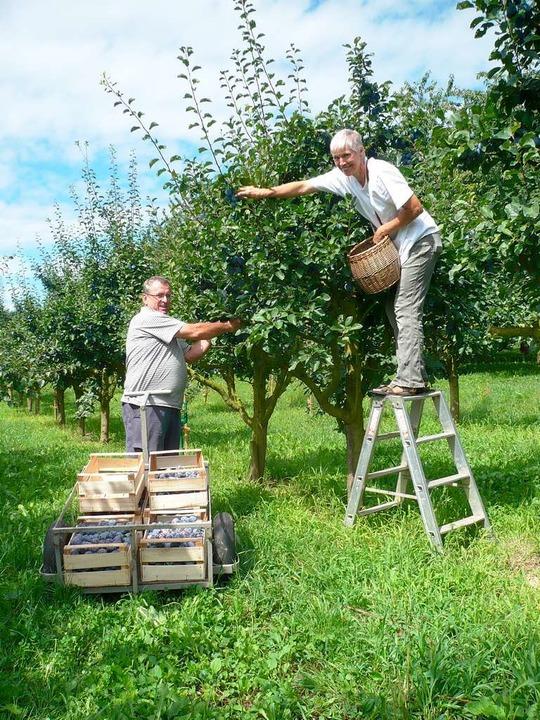 Alles hängt an der Frucht: Edmund Guld...en die vollreifen Zwetschgen vom Baum.  | Foto: Bloedner Dominik