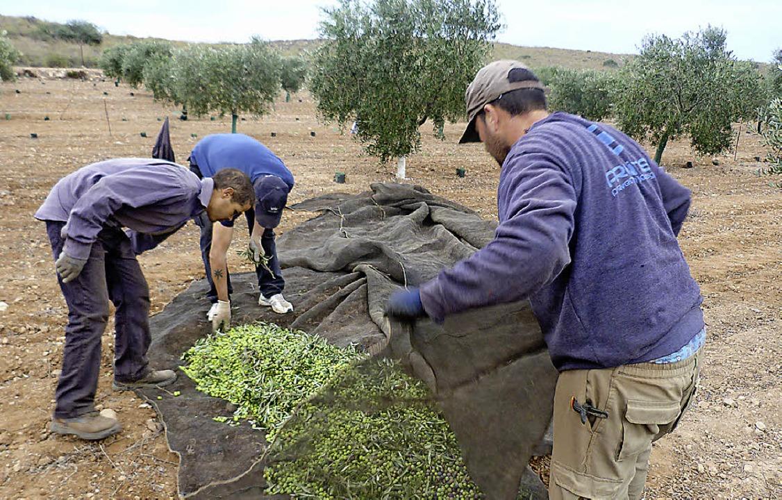 In   Netzen  werden die Oliven unter den Bäumen gesammelt.    Foto: -