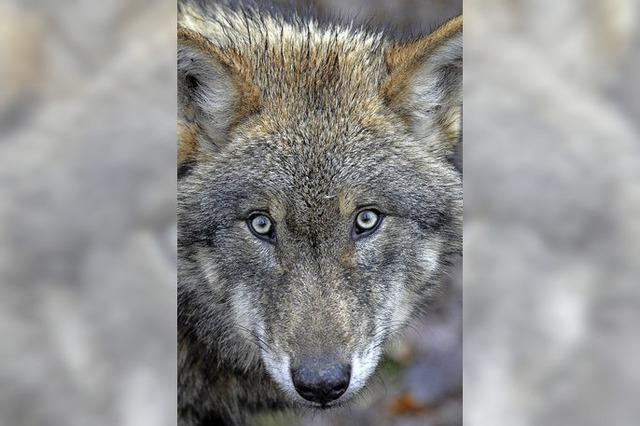 Wenn der Wolf kommt