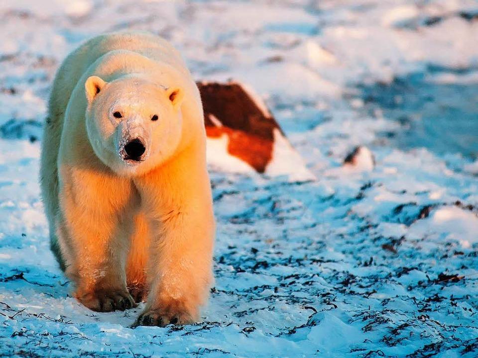 Mit ihm ist zu rechnen: Polarbär  | Foto: Birgit-Cathrin Duval