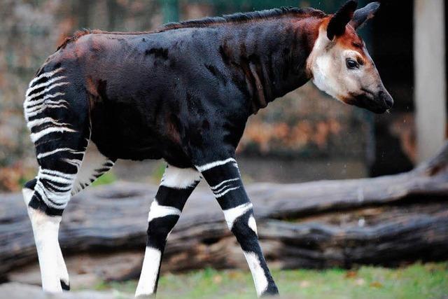 Okapi vor dem Aussterben