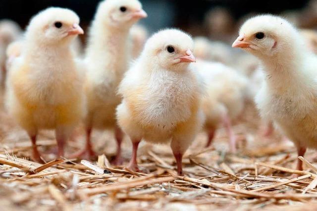 Behörden schließen Agrarbetrieb wegen Geflügelpest