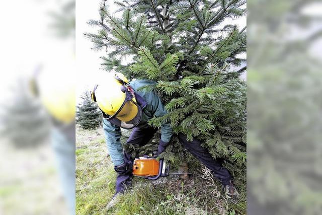 Hochkonjunktur für Tannenbäume