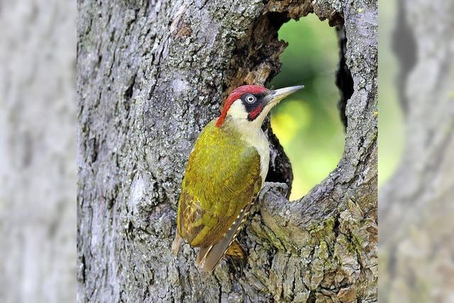 Er ist der Vogel des Jahres 2014: der Grünspecht