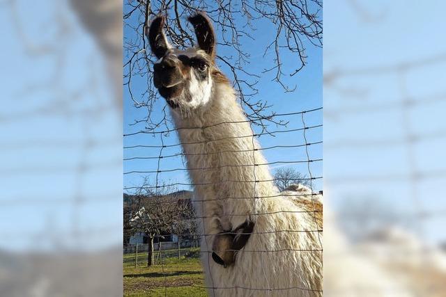 Lamas verabschieden sich aus Oberried