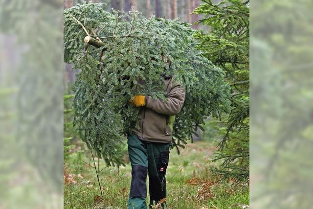 Weihnachtsbäume warten auf Kunden