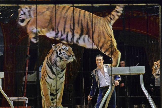 Königstiger in neuer Präsentation