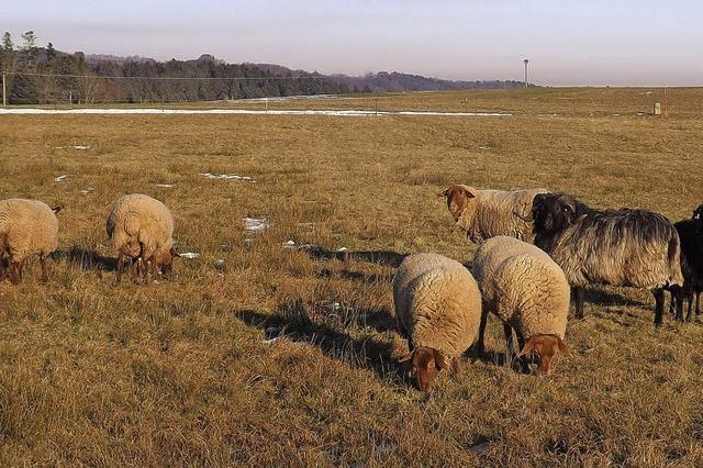 Noch finden die Schafe