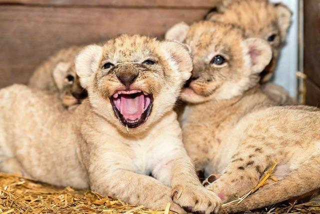 16 kleine Pfoten tapsen jetzt durchs Löwengehege