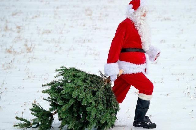 Nur Nordmanntanne? Die Fichte ist der Ur-Weihnachtsbaum