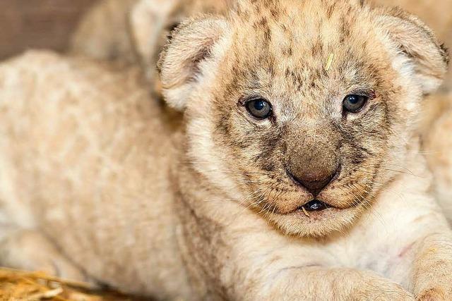 Wie geht es weiter mit den Löwenbabys im Basler Zoo?