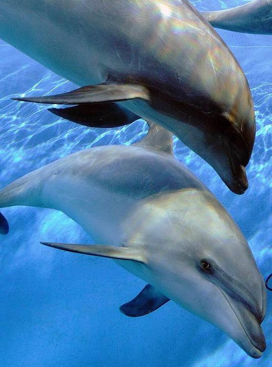 Viel Hirn, aber  weniger Grips als gedacht: Delfine     Foto: Dpa