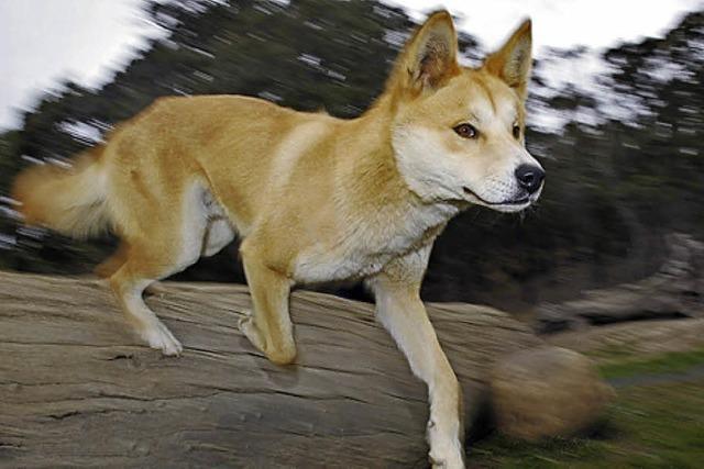 BADISCHE-ZEITUNG.DE: Dingo-zucht