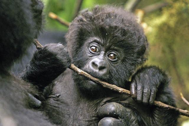 Der Tierfotograf Matto Barfuss zeigt Bilder von Berggorillas