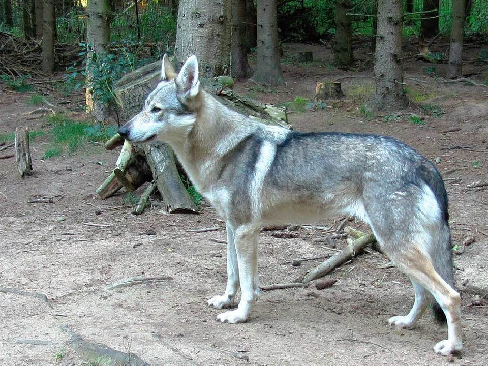 … und ein Tschechoslowakischen Wolfshund  | Foto: Forstliche Versuchsanstalt