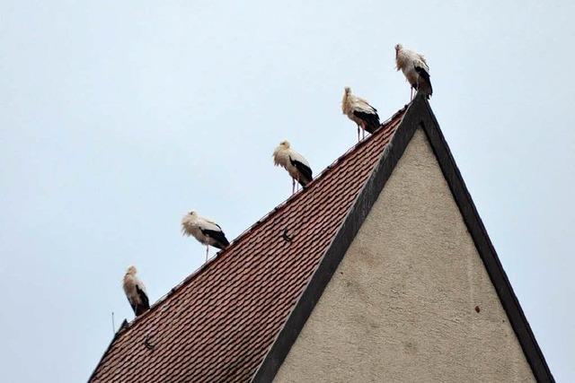 Störche erobern Kirchendach in Rheinfelden