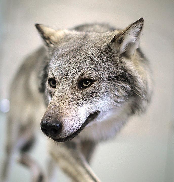 Zurück in Rom: der Wolf   | Foto: dpa