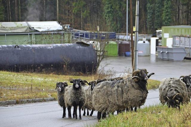 Den Lachengraben mähen Schafe