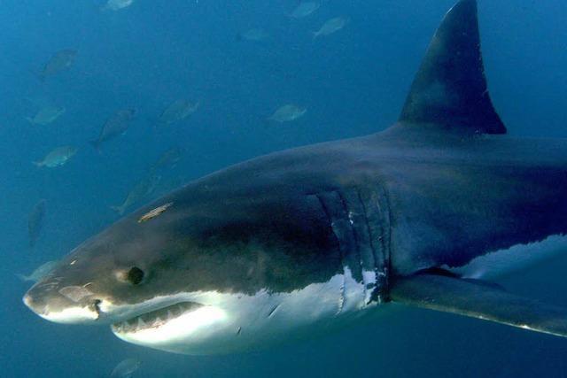 Tödliche Angriffe: Australien eröffnet Jagd auf Haie