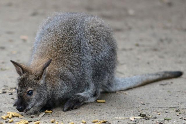 Känguru verliert Nachwuchs auf der Flucht