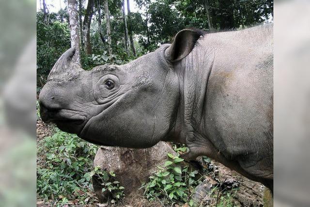Zuchtprogramm soll die Nashörner retten