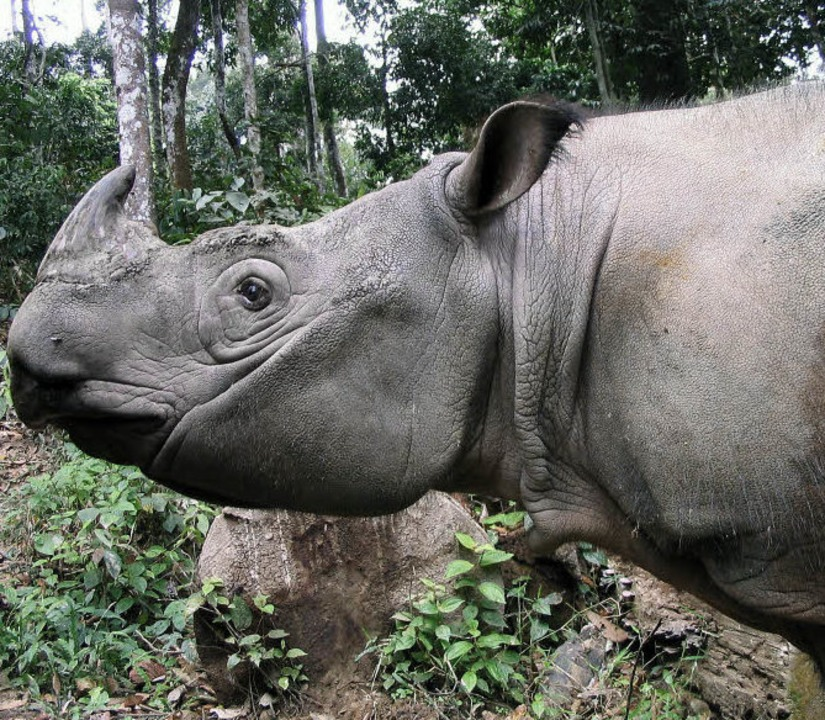 Ob die Borneo-Nashörner überleben können ist ungewiss.   | Foto: dpa