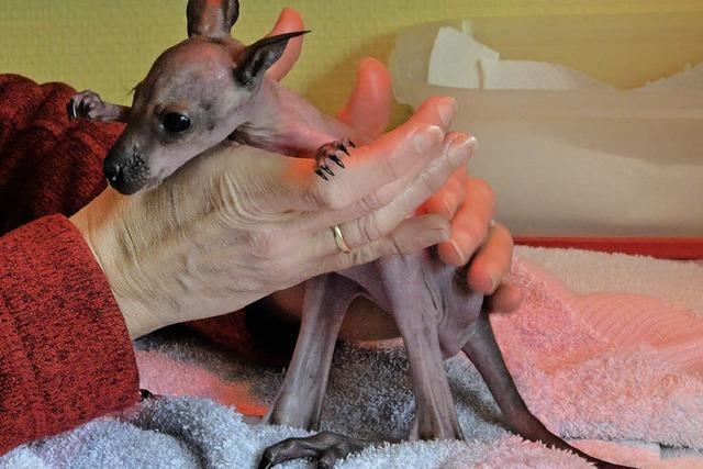 Eine neue Mama für das Kehler Kängurubaby