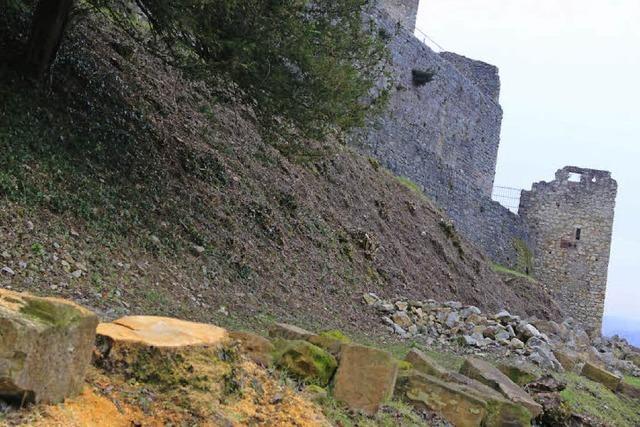 Burg Rötteln: Diebe klauen Wildkirschbaum