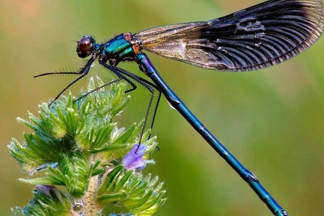 Wundheilung mit Insekten: Medikament aus Lörrach weckt Interesse in den USA