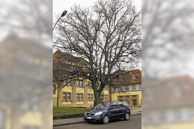 Kein Schutz für alte Bäume