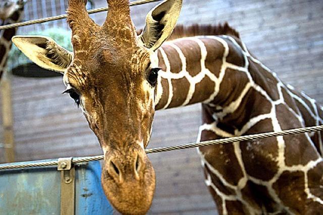 Giraffenkalb getötet