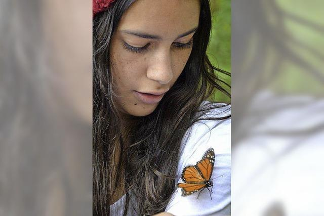 Die Population der mexikanischen Monarchfalter schrumpft
