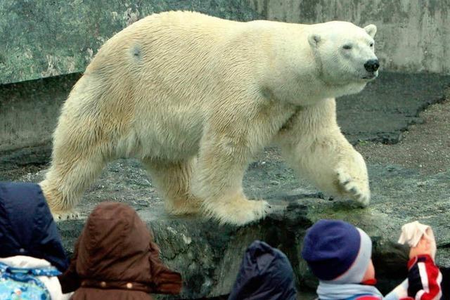 Eisbär Anton starb an verschluckten Gegenständen