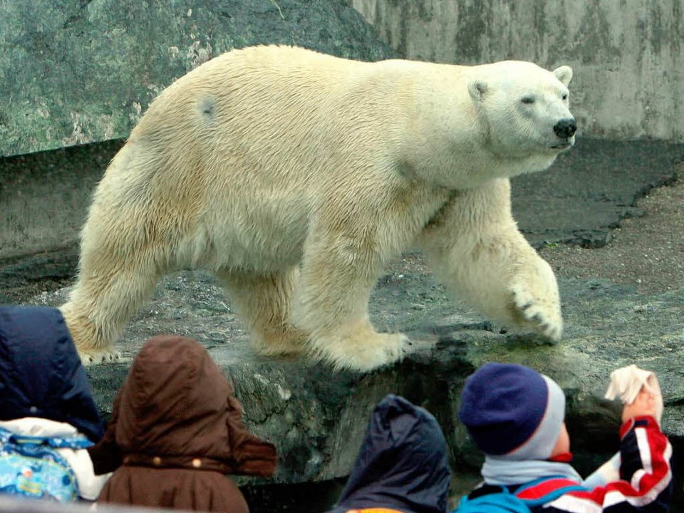 Eisbär Anton hatte auch Stoffpuppe gefressen  | Foto: dpa