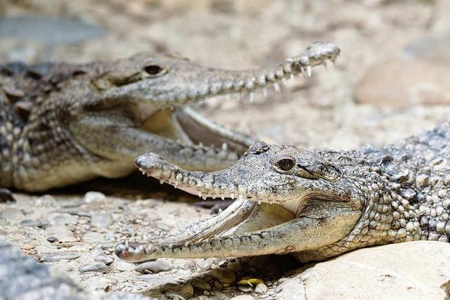 Krokodile auf Bäumen