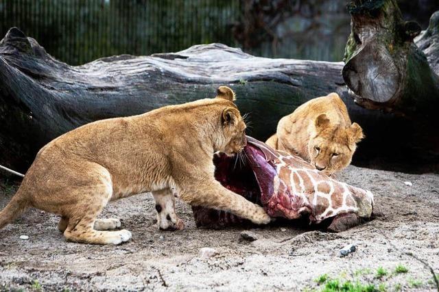 Hitzige Debatte um getötete Giraffe im Zoo von Kopenhagen
